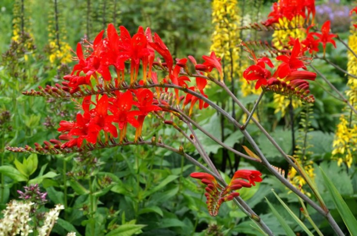 01-crocosmia-lucifer