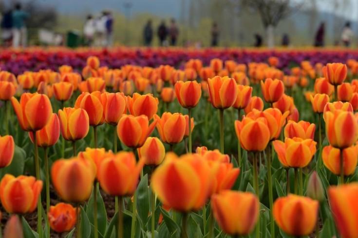 7779310347_des-tulipes-en-inde-illustration