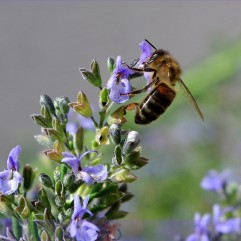 Abeille-sur-fleur-thym