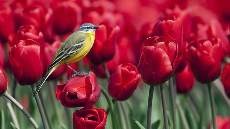 Bird-standing-on-a-red-tulip-flower_1920x1080