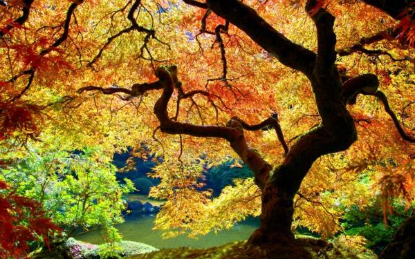 érable-japonais-couronne-dérable-du-japon