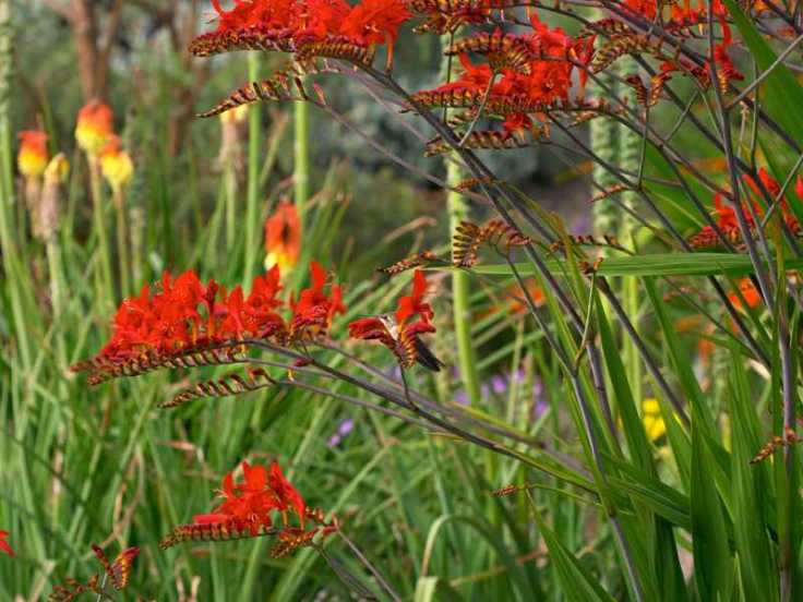 crocosmia_lucifer__085734300_1118_17012012