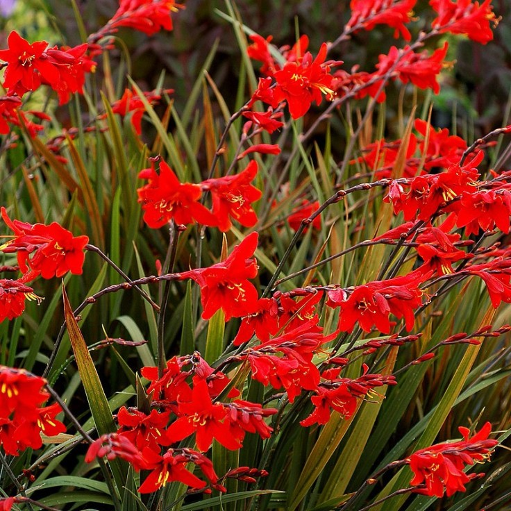 crocosmia_lucifer_n_1