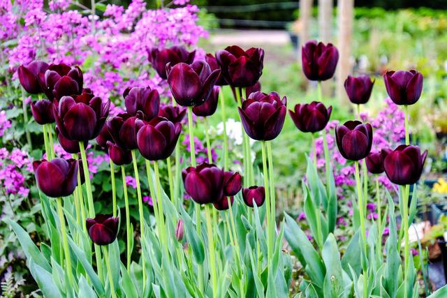 diaporama-tulipe-violet