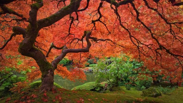 erable-japonais-jardin-japonais-en-oregon-1150x646