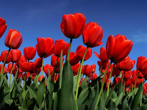 jpg_tulipes-rouges