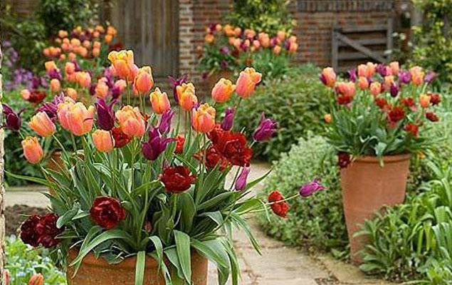 meilleures-tulipes