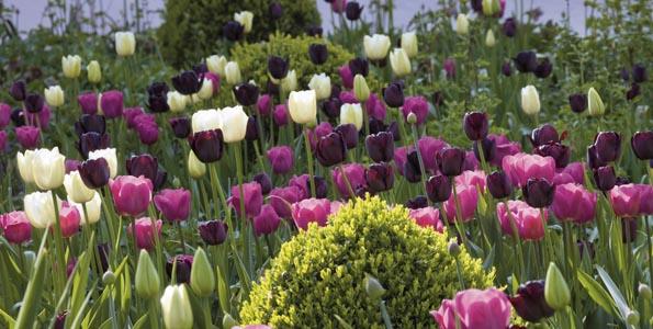 Massif de bulbe de printemps. Tulipa (Tulipe), Buxus (Buis). Ulting Wick, Essex, Angleterre