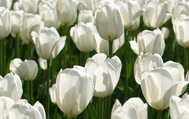 tulipes-blanches