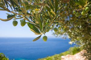 un-olivier-en-bord-de-mer
