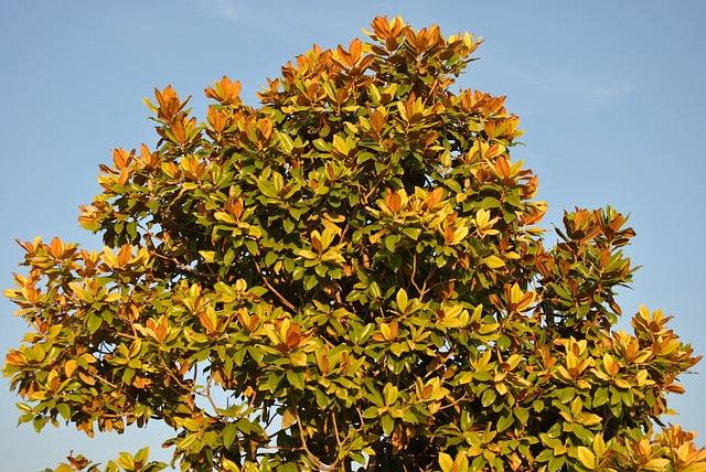 magnolia-tree-504593_640