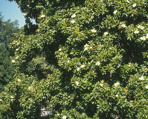 Magnolia_grandiflora_641-3_MINIER
