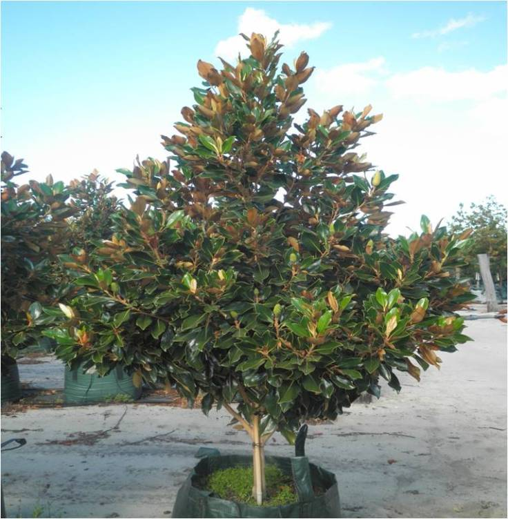 magnolia_grandiflora_little_gem__032454700_1452_08022013