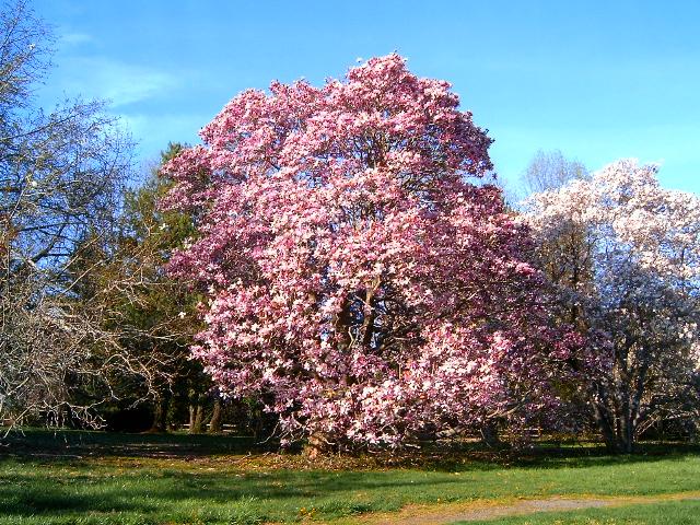 Magnolia_Tree