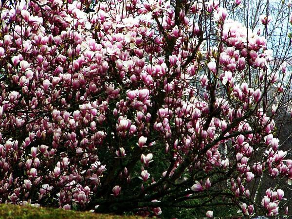 tulipier-magnolia
