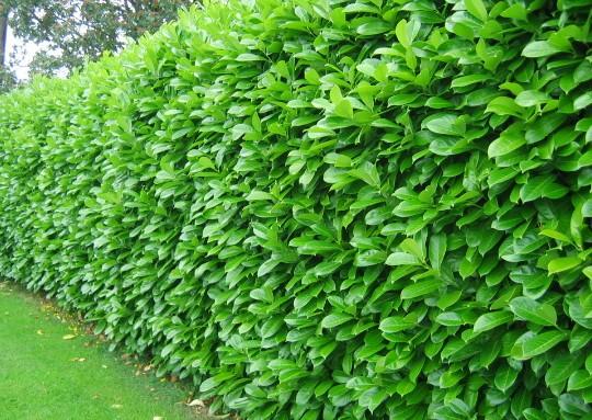 laurier-palme-rotundifolia-taille-6080-cm-pot-de-3-litres-13789001472