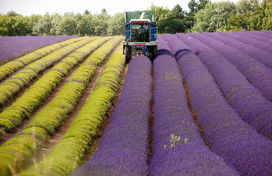 recolte-champs-lavande-7
