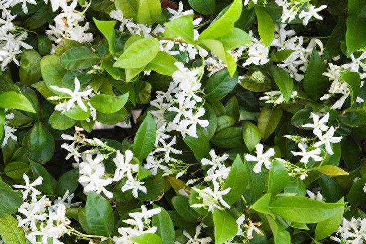 star-jasmine-02