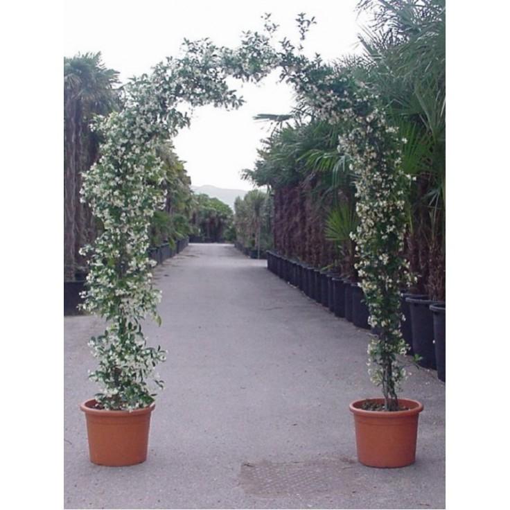 trachelospermum-jasminoides-forme-arche-jasmin-etoile