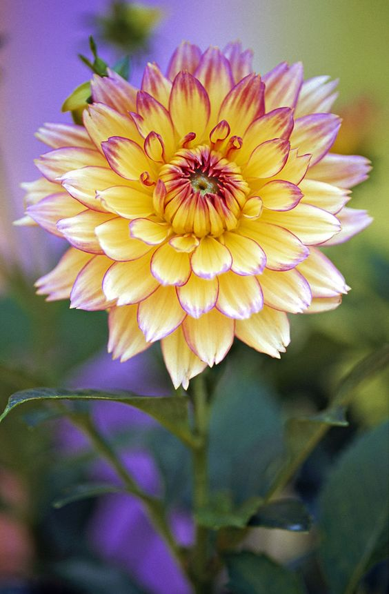 DAHLIA  DAHLIA, For Use In French Speaking Territories Only