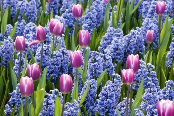 Tulipa 'Synaeda Blue' with Hyacinthus 'Skyline'