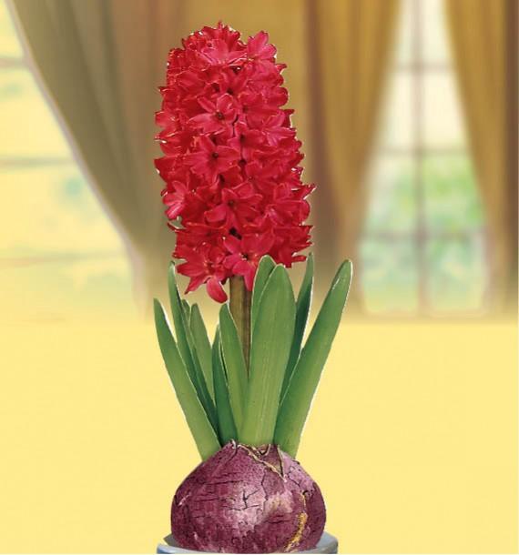 jacinthe-parfumee-rouge-vase