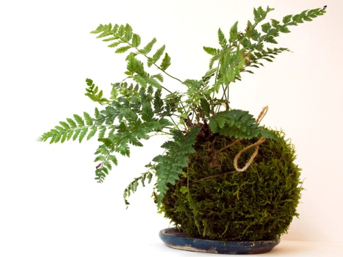 kit-kokedama-fougere