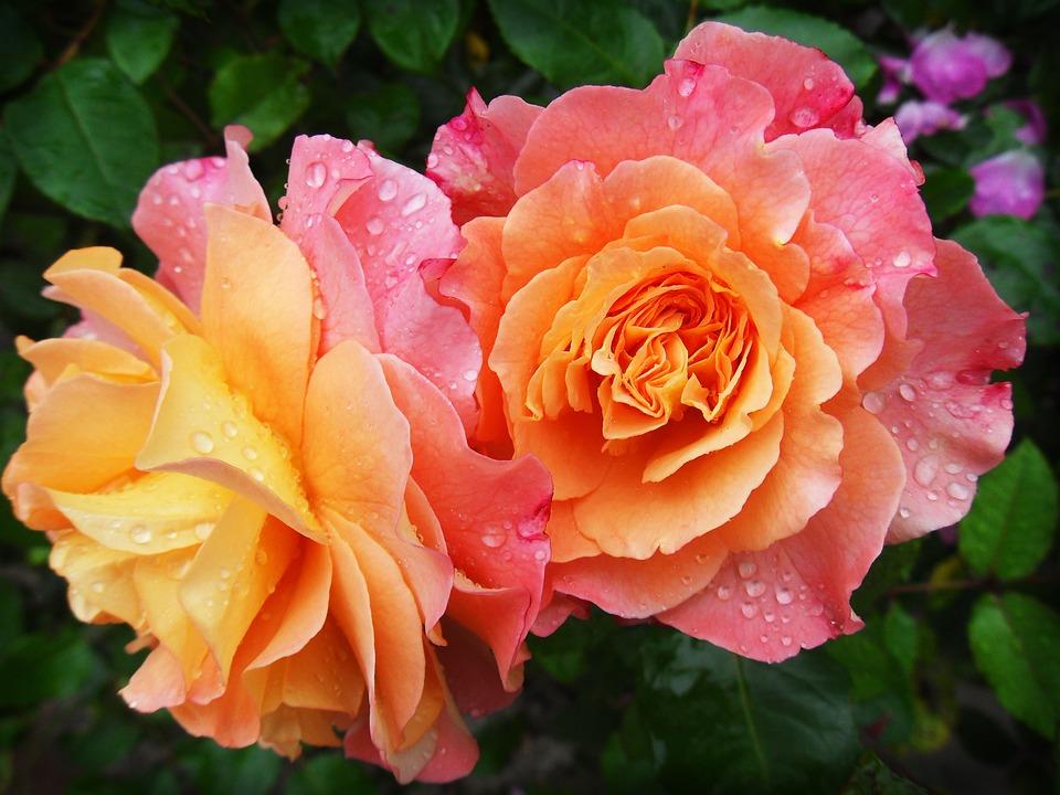 rose-174817_960_720