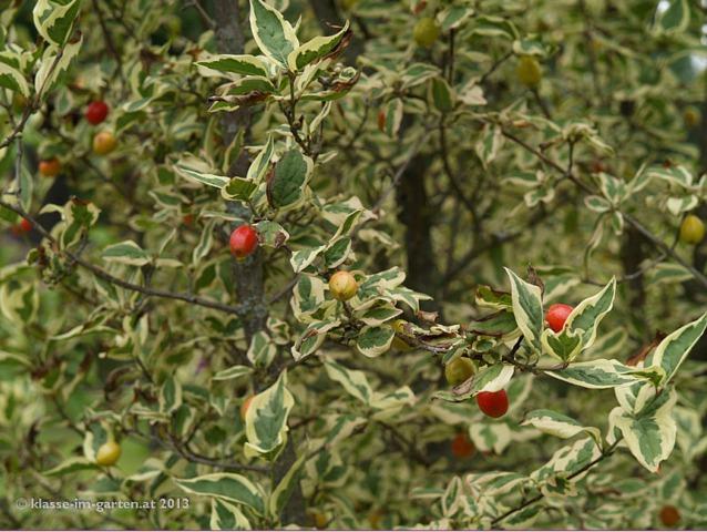 cornus-mas-variegata-cornouiller-male-panache