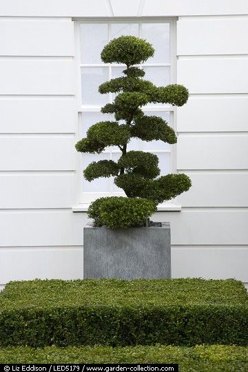 Contemporary formal front garden with a cloud topiary in a container
