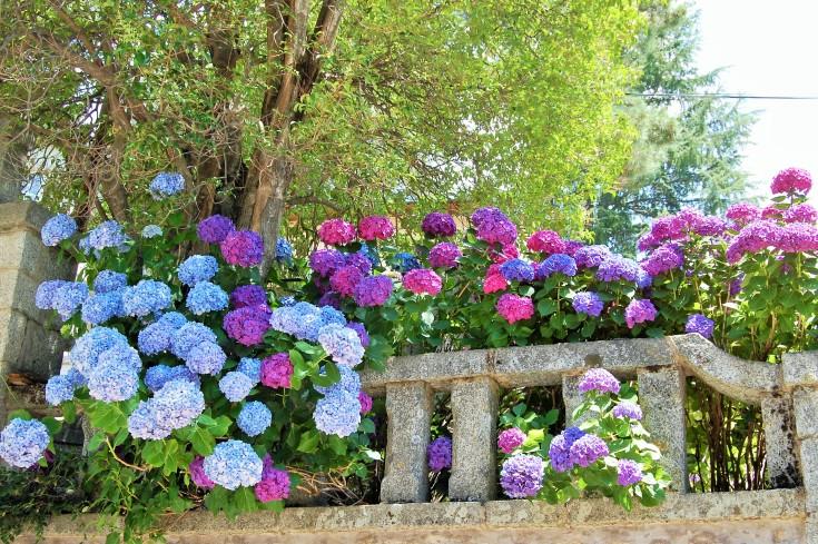 L hortensia hydrangea le petit jardinier - Hortensias cuidados poda ...