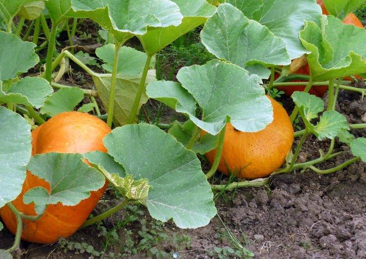 growing-a-pumpkin-IN-a-pumpkin