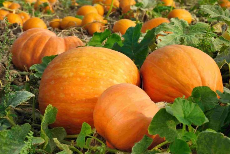 Harvesting-Pumpkins