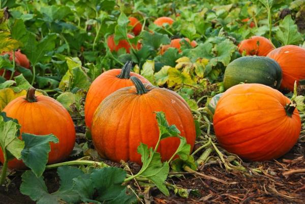 Pumpkin-Patch-