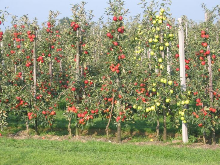 1200px-Intensive_apple_orchard